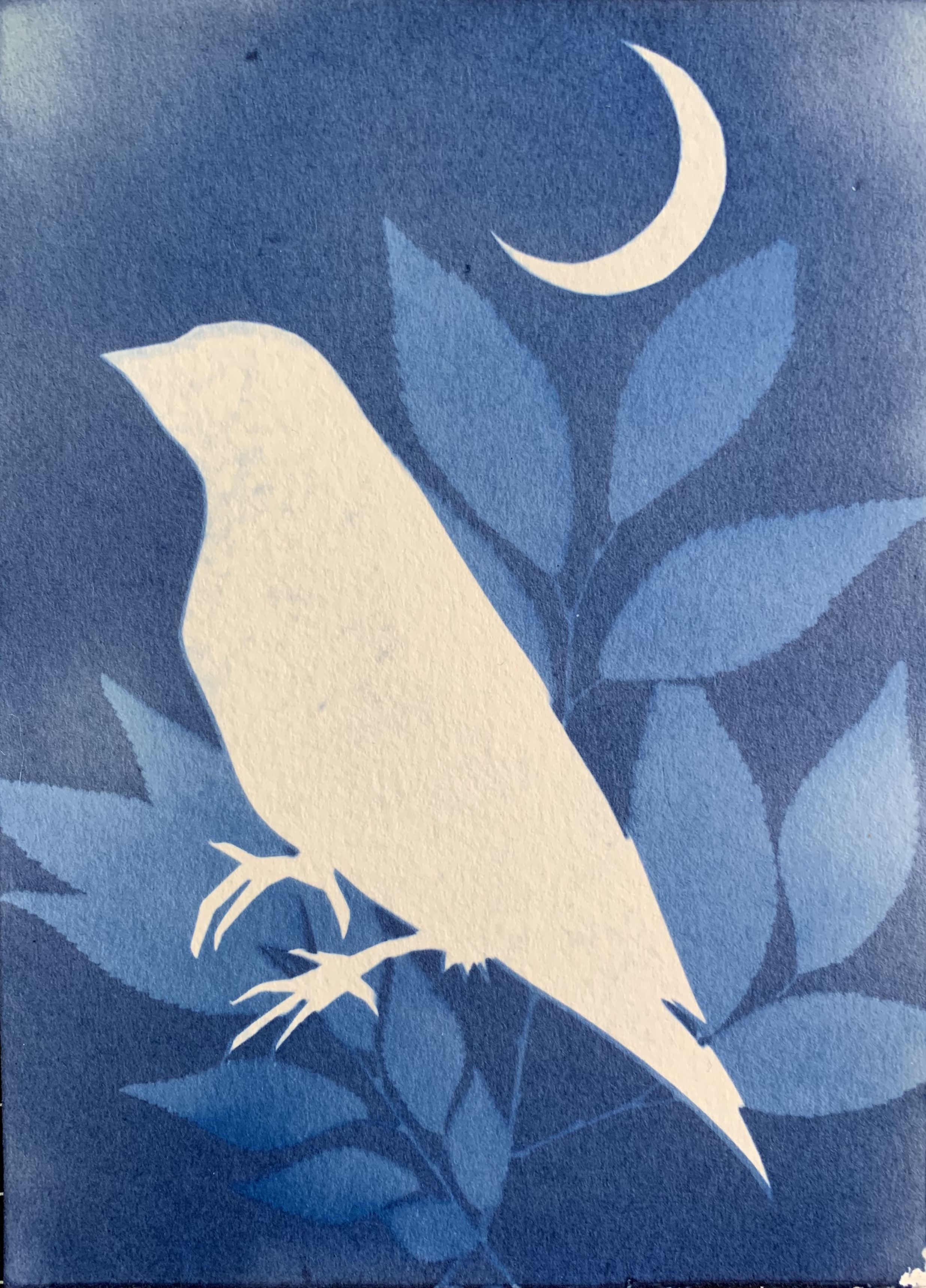 Robin at Night: Cyanotype: April 26th 2020 - large file